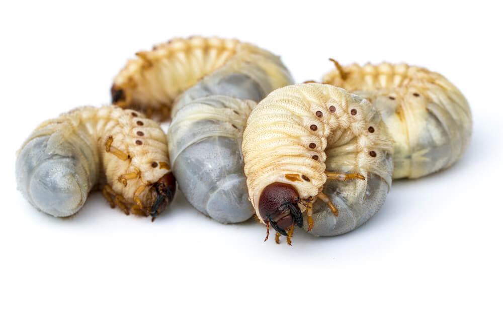 筋トレ時の食事(昆虫類)