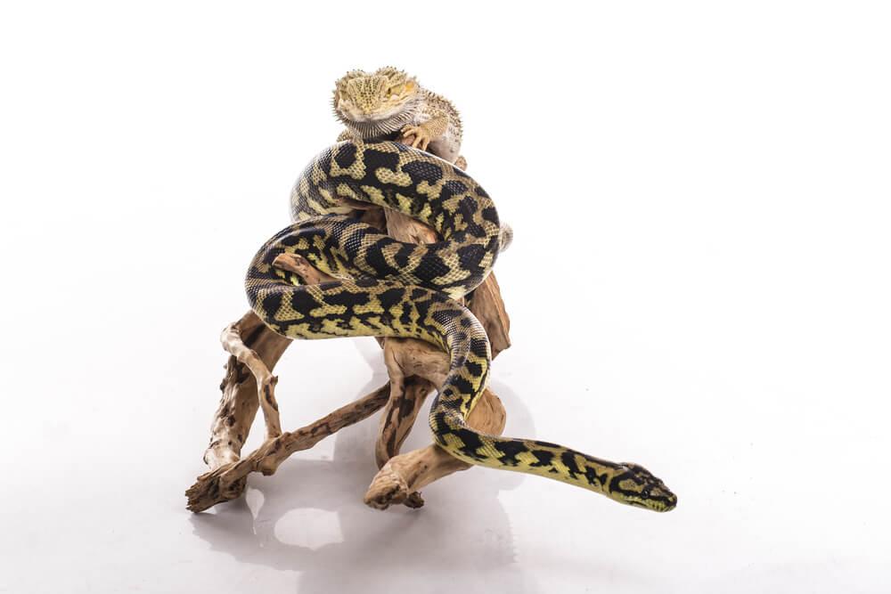 筋トレ時の食事(爬虫類)